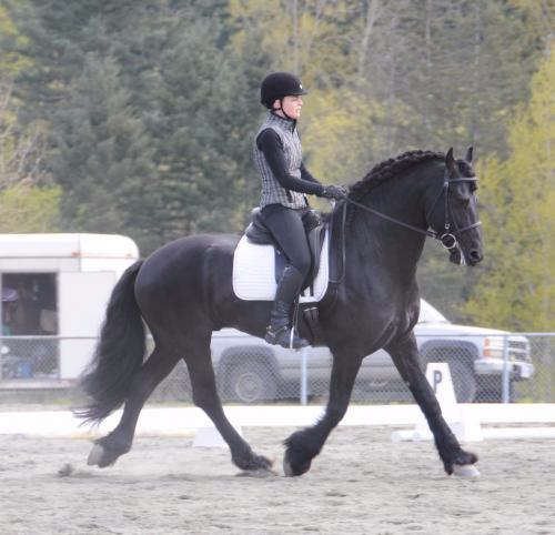 Ulke Jildert Sport DSF CFHA Approved stallion. Multiple National Championships