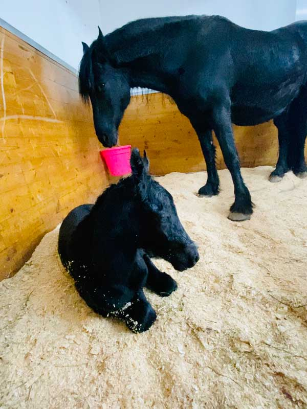 2020 Friesian Filly