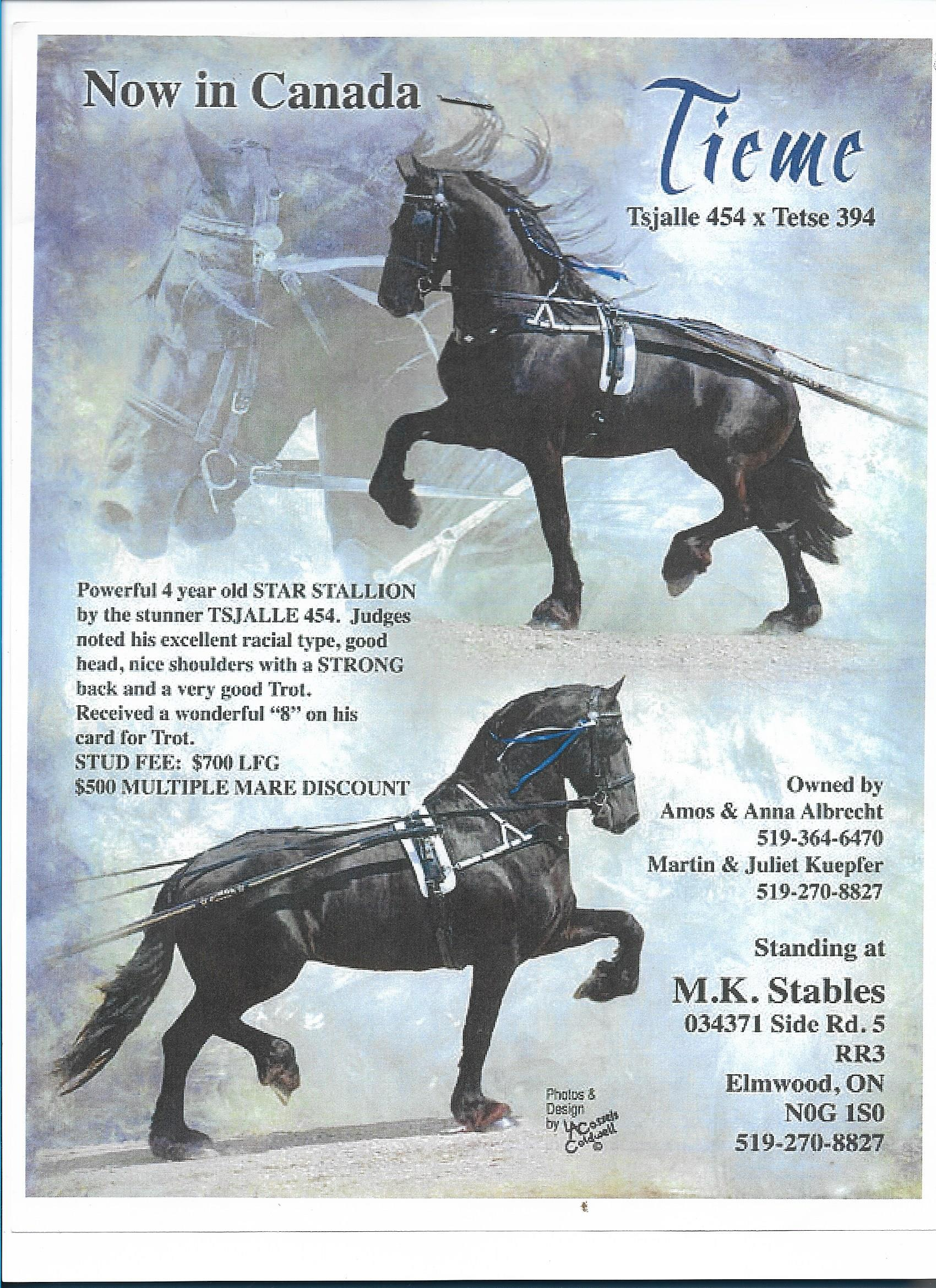 Tieme - Star Friesian Stallion