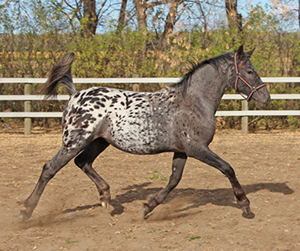 2013 Knabstupper/Friesian Filly