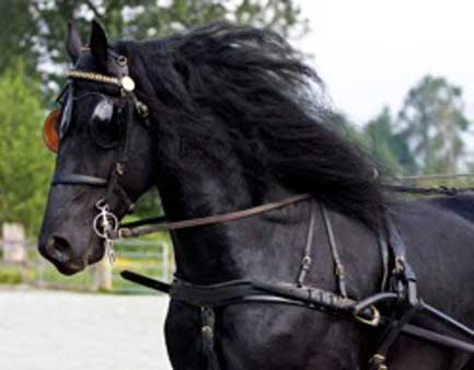 Arabo Friesians
